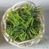 "Mini Stamen ""bush"" - GREEN"